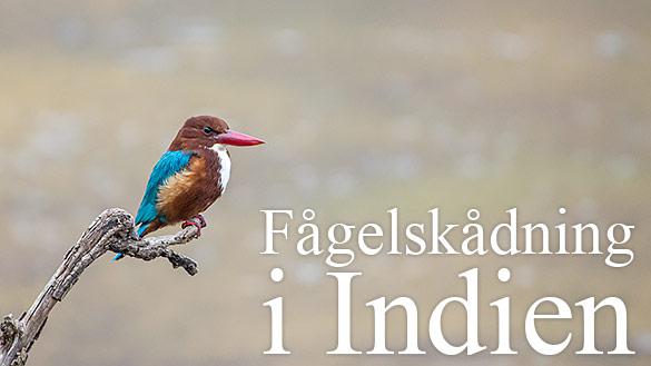 Fågelskådning i Indien