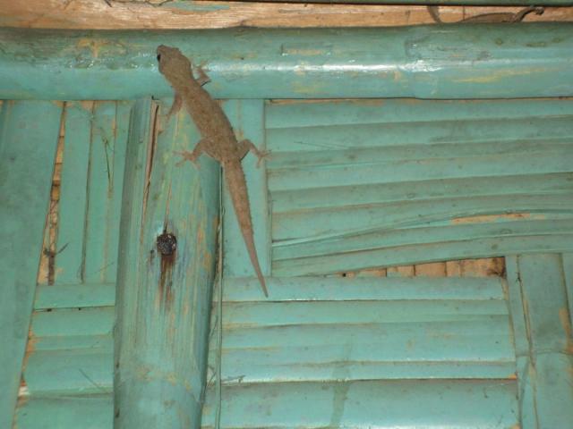 Gott om Geckos ere....