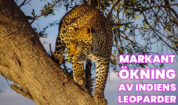 markant ökning av Indiens leoparder