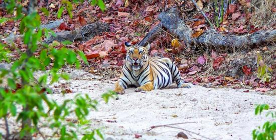 Tiger i Bandhavgarh National Park